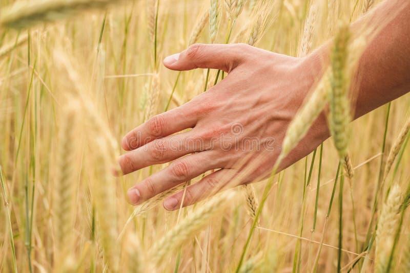 Рука пропусков человека youg через желтые колоски пшеницы на конце поля вверх на солнечный летний день стоковое изображение