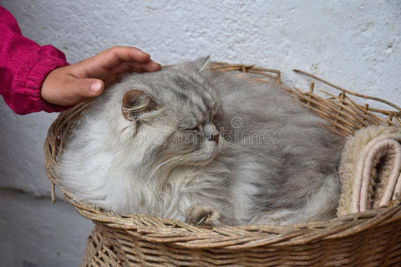 Рука ребенка лаская серебряного кота персиянки tabby стоковое изображение