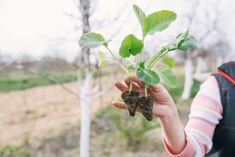 Рука садовника с саженцем капусты в огороде стоковые изображения