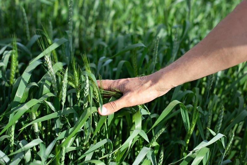 Рука фермера касаясь зрея ушам пшеницы ранним летом Рука фермера в пшеничном поле Аграрное культивируемое пшеничное поле Ha стоковое изображение rf