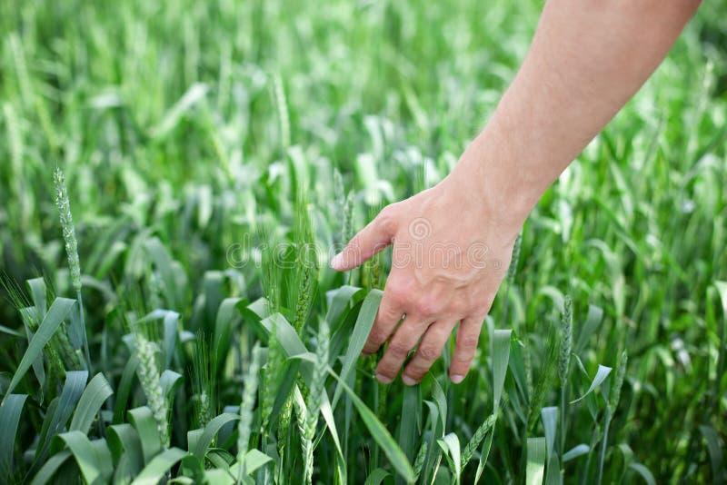 Рука фермера касаясь зрея ушам пшеницы ранним летом Мужская рука касаясь золотому уху пшеницы в пшеничном поле Touc руки стоковая фотография