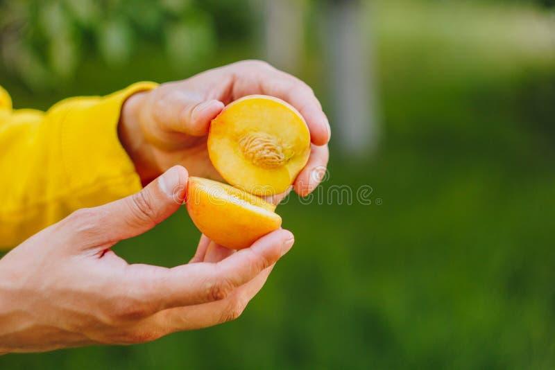 Рука человека держит свежо скомплектованный зрелый плод персика с отрезком косточки в 2 частях против предпосылки травы и деревье стоковые фотографии rf
