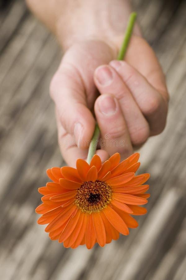 рука gerber маргаритки стоковые фотографии rf