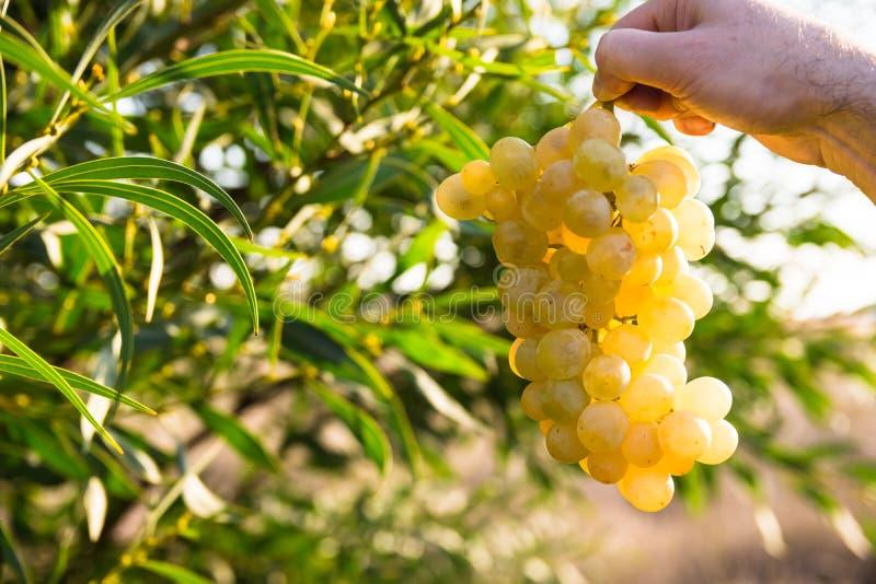 Рука Manдержа пук зрелых белых виноградин в солнечном свете, в зеленой предпосылке поля, около зеленого дерева выходит стоковое фото