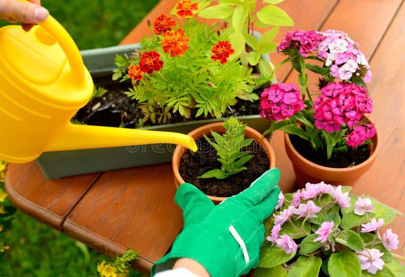 Руки в зеленых перчатках засаживают цветки в баке стоковые изображения rf