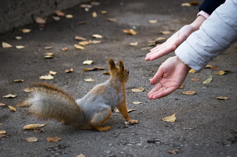 Руки достигая красную белку сидя на дорожке в парке в осени стоковое изображение rf