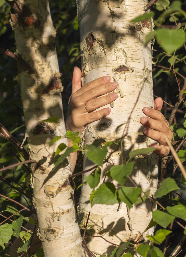 Руки девушки обнимая ствол дерева Держать березу стоковая фотография rf