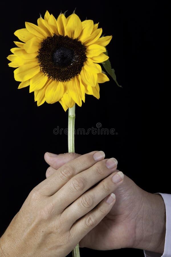 2 руки держа желтый солнцецвет стоковая фотография