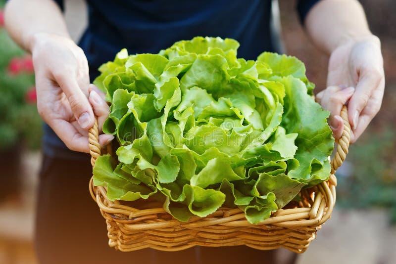 Руки держа корзину с органическим салатом масла стоковое изображение