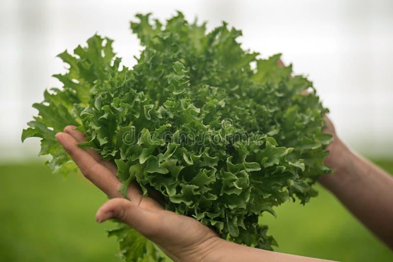 Руки держа салат стоковое изображение