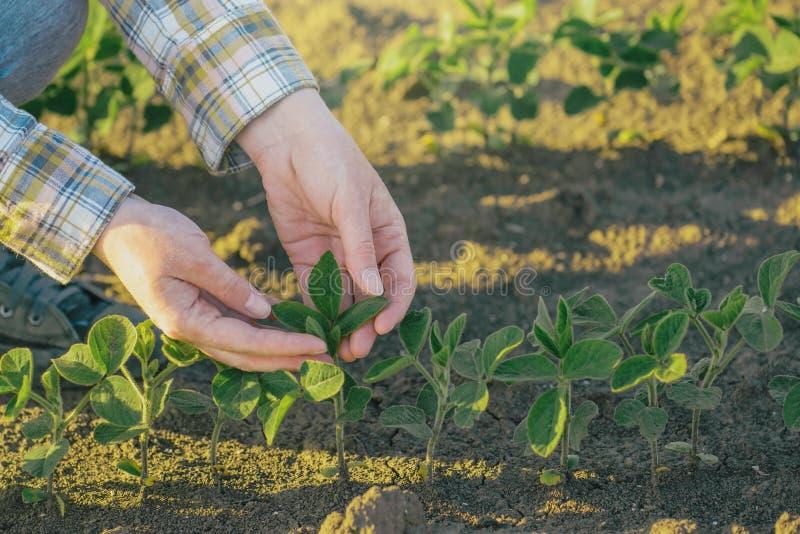 Руки женского фермера в сое field, ответственный обрабатывать землю стоковое фото