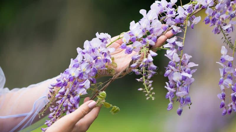 2 руки женщины держа лозу глицинии зацветая стоковое изображение