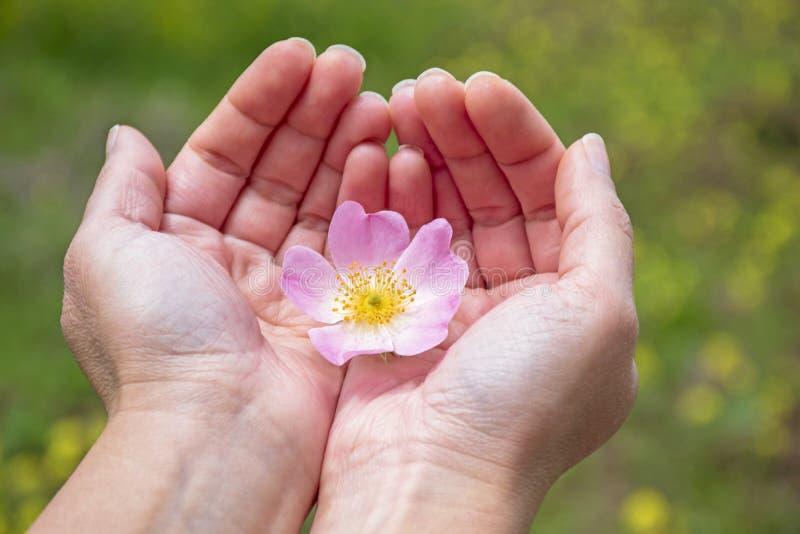 Руки женщины держа розовый нежный цветок в природе стоковые изображения rf