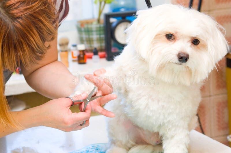 Собака холить мальтийсная стоковые изображения rf