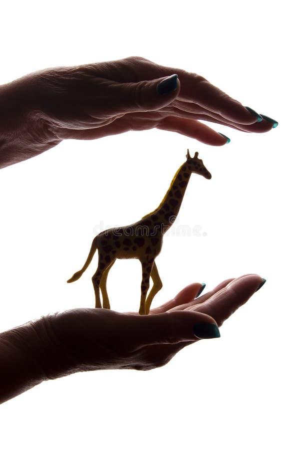 Руки женщины с редкой угрожаемой животной диаграммой - силуэтом, защищая животными стоковые изображения rf