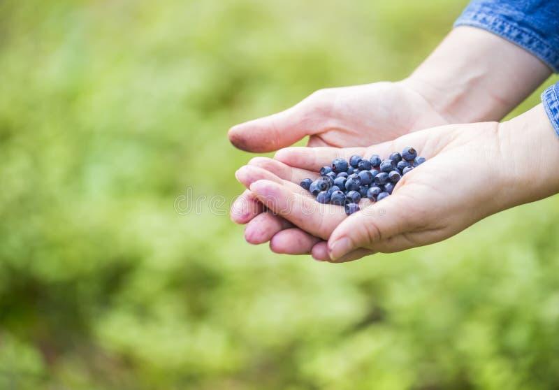 Руки женщин выбирая одичалые голубики стоковое изображение rf