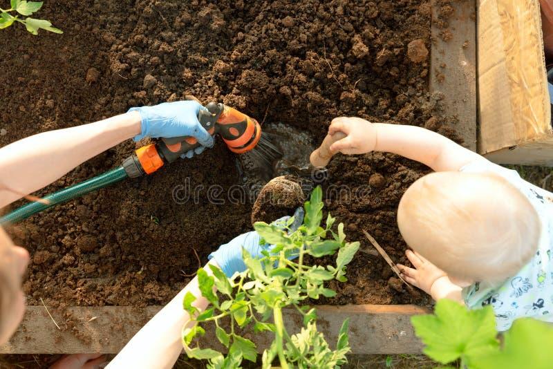 Руки и ребенок женщины засаживая саженцы томата в парнике Органическая концепция садовничать и роста стоковые фотографии rf