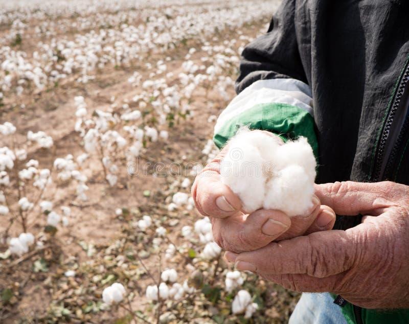 Руки погоды ` s фермера держат Boll хлопка проверяя сбор стоковые фото