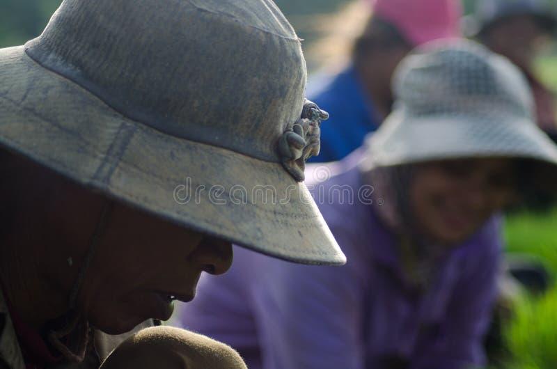 Руки полевого рабочего риса жать рис в Юго-Восточной Азии стоковое фото rf