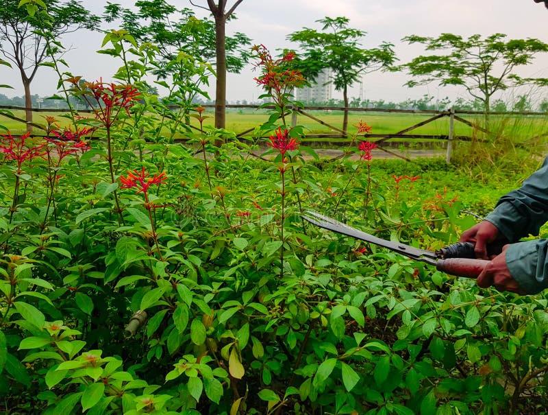 Руки режа подрезать уравновешивающ зеленые кусты и красные цветки и траву с садовничая ножницами стоковые фото