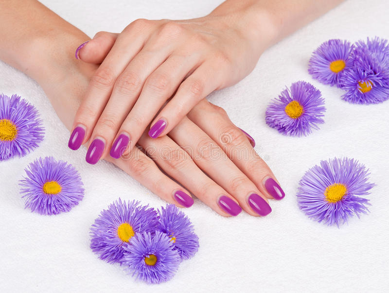 Руки с manicure и пурпуровыми маргаритками стоковое изображение
