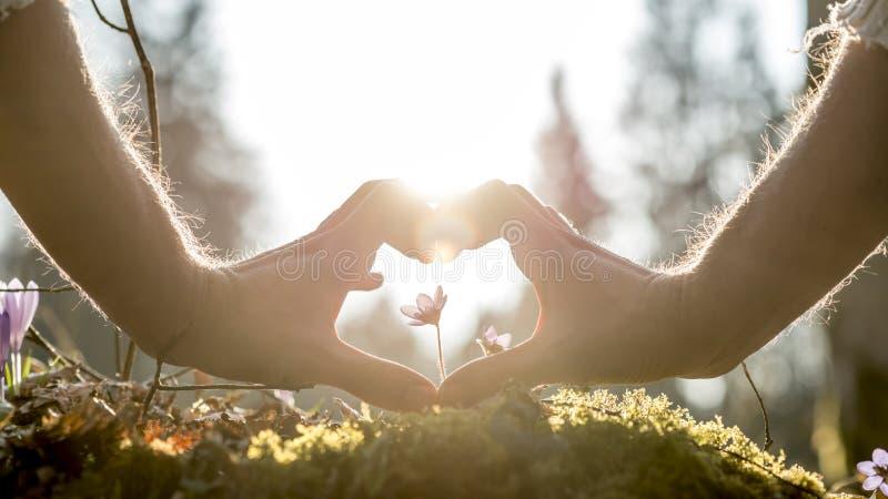 Руки формируя форму сердца вокруг малого цветка стоковые фотографии rf
