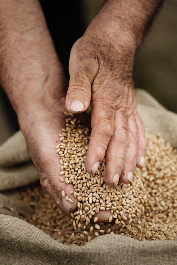 Руки Cloes-up мужские держа зерно пшеницы стоковая фотография