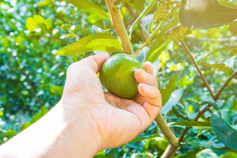 Руки Woman's собирают лимоны в саде стоковое фото