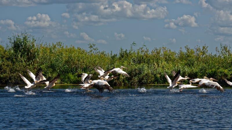 Румынские пеликаны стоковое изображение