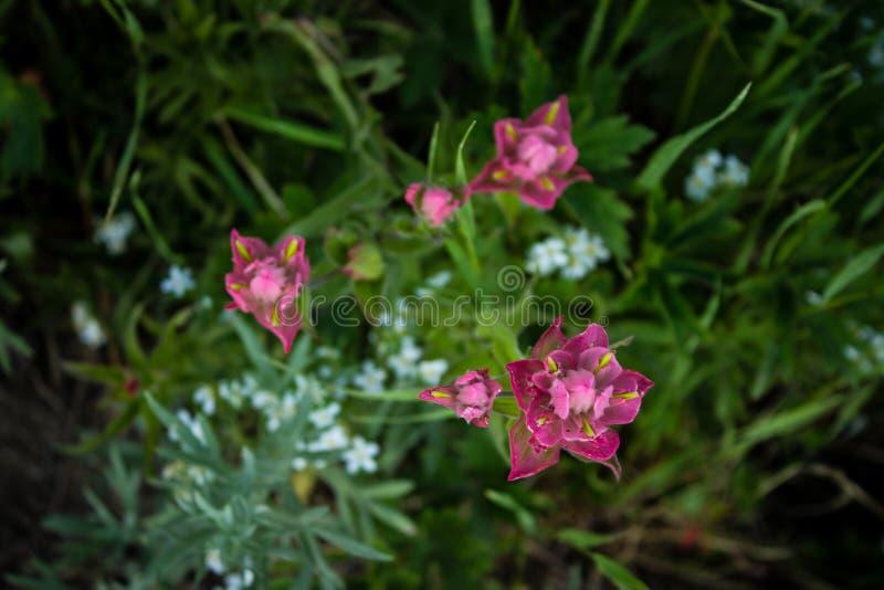 Румяные цветки Paintbrush стоковое фото