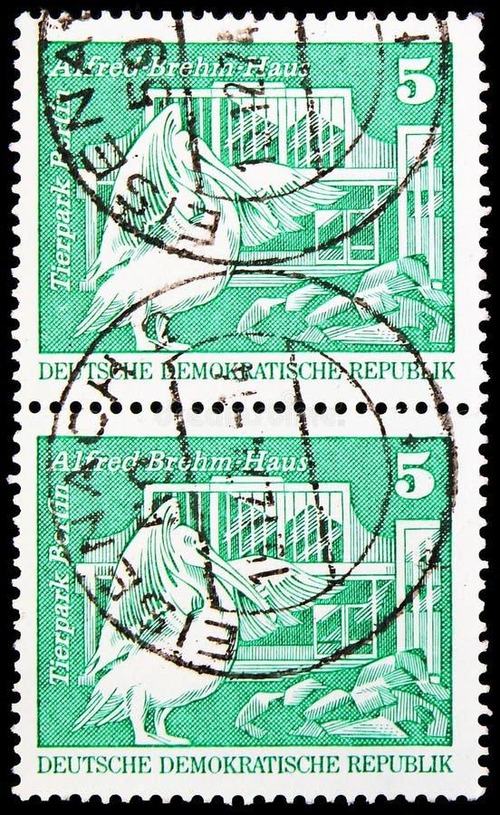 Румяный пеликан (onocrotalus Pelecanus); Альфред-Brehm-дом, Берлин, конструкция в ГДР, небольшое serie формата, около 1980 стоковое фото rf