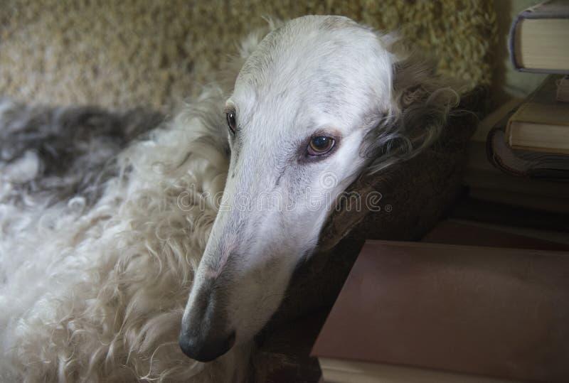 Русская собака wolfhound стоковые изображения rf