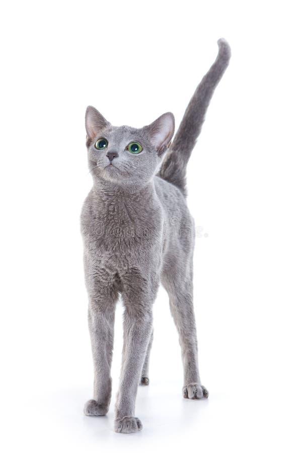 русский голубого кота стоковая фотография