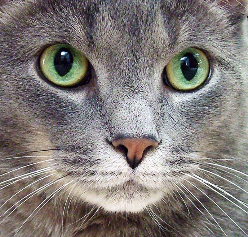 русский голубого кота Стоковое Изображение RF