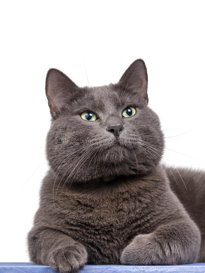 фото кота голубого русского