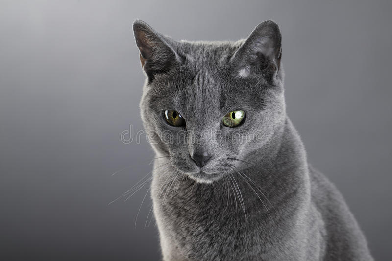 Русский голубой кот стоковое изображение rf