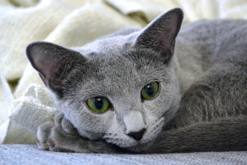 русский голубого кота стоковая фотография rf