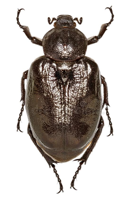 Русский кожаный жук на белой предпосылке стоковая фотография rf