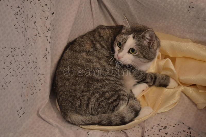 Русский кот стоковое фото rf