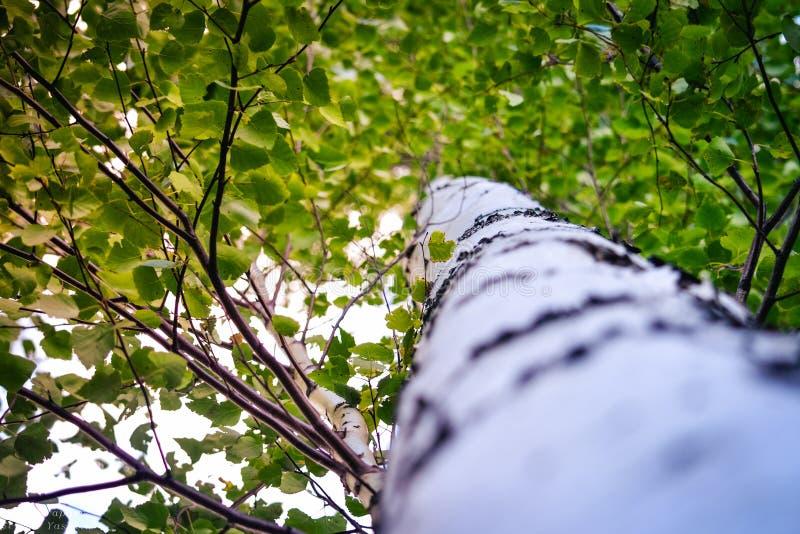 Русский цвет природы лета березы стоковое изображение