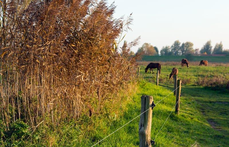 Русые тростники в солнце позднего вечера стоковое фото