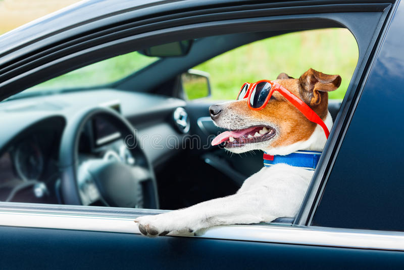 Рулевое колесо автомобиля собаки стоковая фотография rf