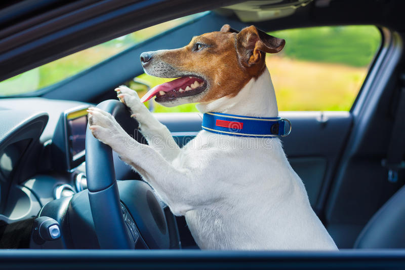 Рулевое колесо автомобиля собаки стоковое фото rf