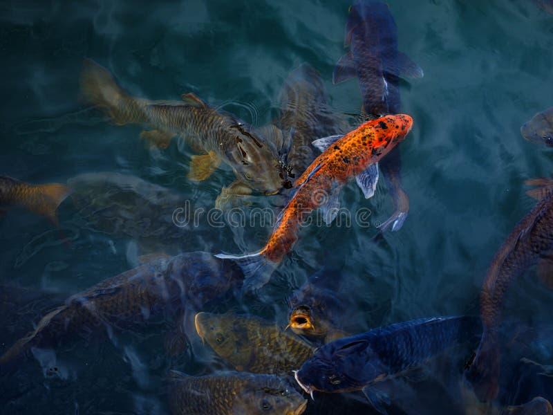 Рыбак-карп Кои в Шанхае, Китай стоковое фото rf