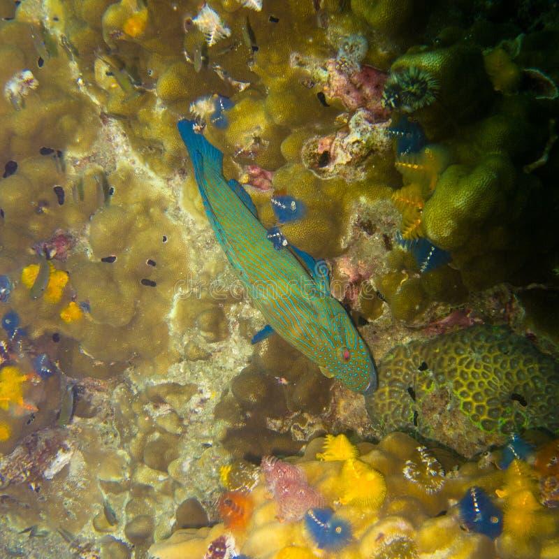 Рыба плавая над кораллами стоковое изображение rf