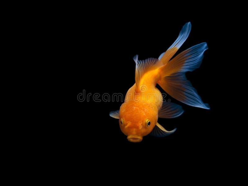 Рыбка на черной предпосылке, плавании рыбки на черной предпосылке, рыбе золота, декоративных рыбах аквариума, рыбах золота Изоляц стоковая фотография