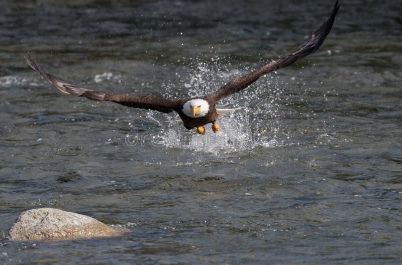 Рыбная ловля белоголового орлана для семг стоковые фото