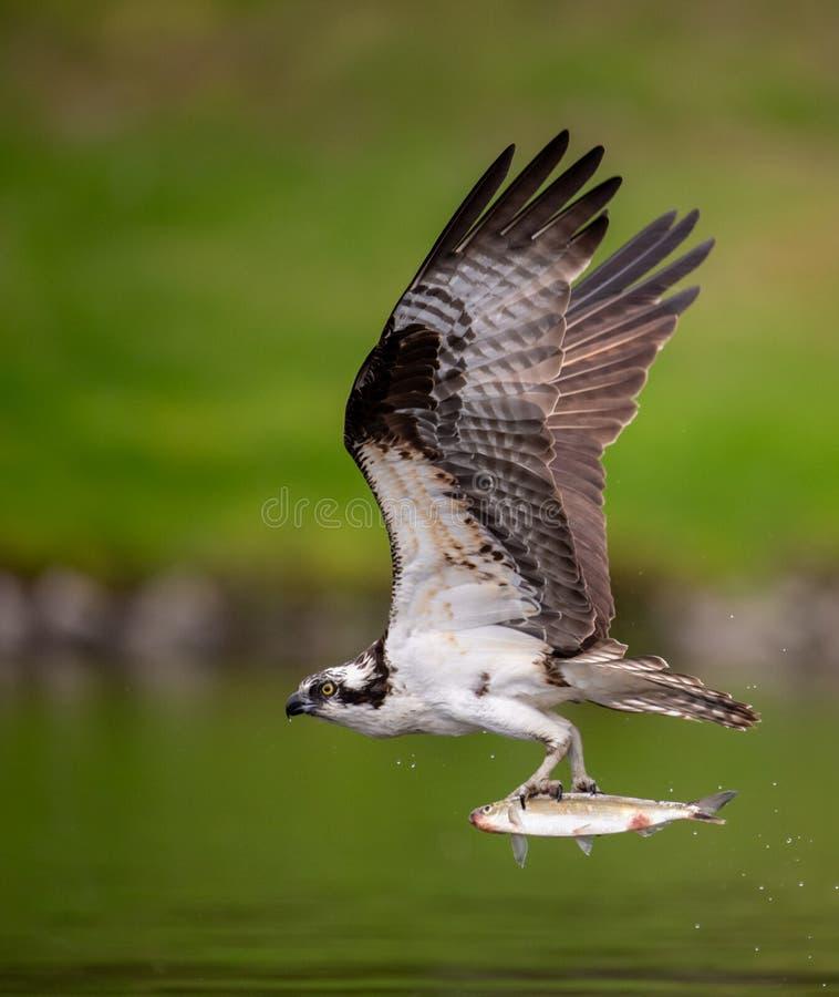 Рыбная ловля скопы в районе болота стоковые фото
