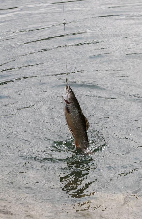 Рыбная ловля форели в реке горы стоковое изображение rf