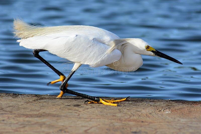 Рыбная ловля egret Samll около воды стоковое фото